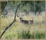High fences can assist landowners seeking better quality management of their deer herds.