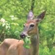deerfood