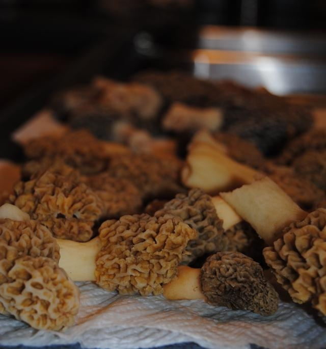 best morel mushrooms wild morel mushrooms fresh morel mushrooms