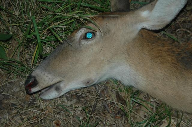 "A white-tailed doe with ""lumpy jaw"" infection. Photo by Dan Schmidt."