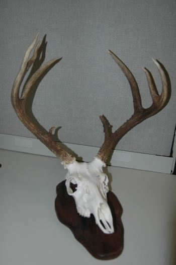 This is one of Deer & Deer Hunting Editor Dan Schmidt's European mounts.