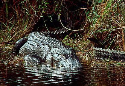 Alligators are common in Florida, too.