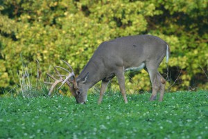 A white-tailed buck feeds in a field planted with Whitetail Institute Imperial seeds.