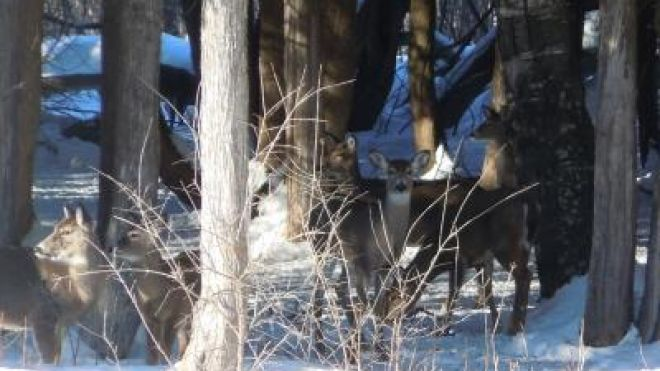 Deer may congregate in winter in the upper Midwest and northern region in the same areas, which could harm the native plants. (Photo: Michigan Technological University)