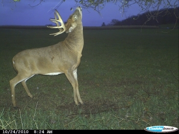 Bucks use licking branches as signposts with their scrapes, and preorbital gland scent is a big part of it.