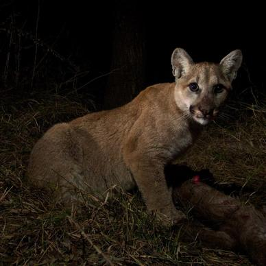 According to the National Park Service, about 15 mountain lions live within the Malibu Creek State Park that is surrounded by water and roads. (Photo: NPS)