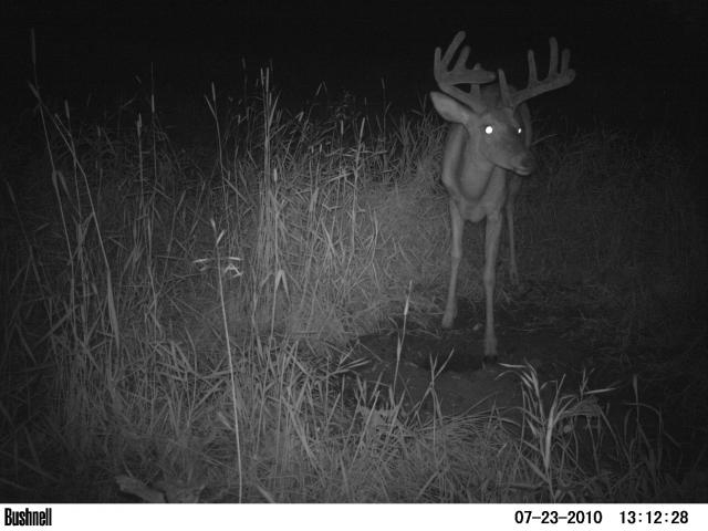Whitetail buck at mineral lick
