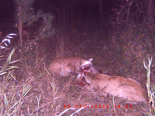 2 old cougars devour young cub - 1 part 3