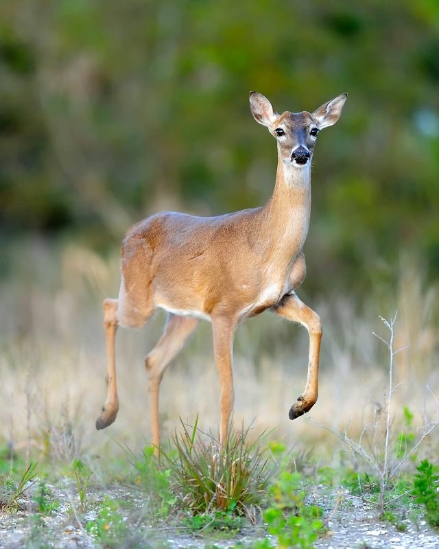 white-tailed der