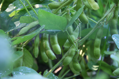 Soybeans are a great source of nutrition for white-tailed deer.