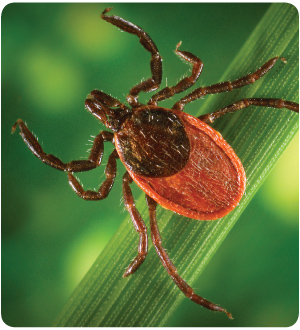 More ticks are expected throughout the U.S. this year. (Photo: CDC)