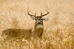 white_tailed_deer_0820