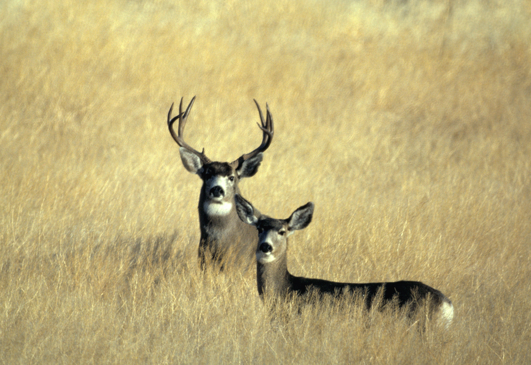 wildlife_mule_deer