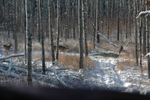 As snow depths increase, deer become stressed to find enough food to keep them healthy.