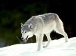 wolf_sample